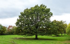 Jakobsweg Cormatin Voie Verte Baum in der Weide