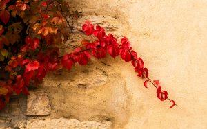 Jakobsweg Mercurey Herbstlaub an der Mauer