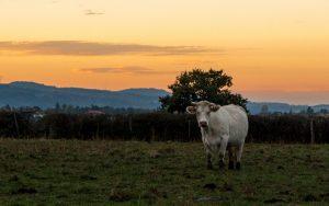 Jakobsweg Saint Romain la Motte Kuh im Abendrot