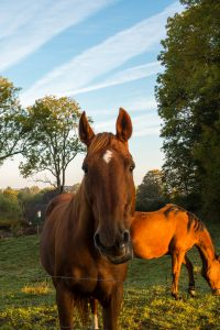 Jakobsweg Contrexeville Pferd in der Morgensonne