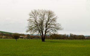 Jakobsweg Sepvigny Weide mit Baum