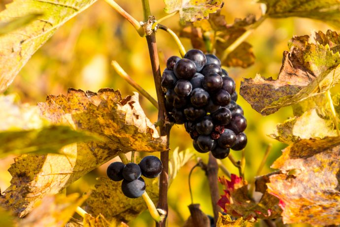 Jakobsweg Beaune Chagny Pinot noir Trauben