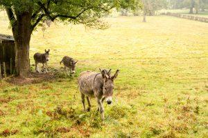 Jakobsweg Cluny Esel im Regen