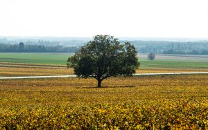 Jakobsweg Comblanchien Baum im Weinberg