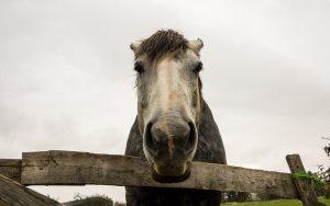 Jakobsweg Montagny Portrait Pferd