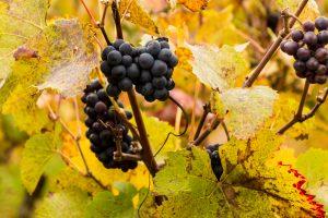 Jakobsweg Nähe Mercurey Pinot Noir Reben