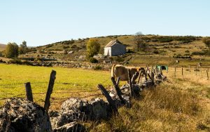 Jakobsweg Aubrac Gehöft mit Kuh