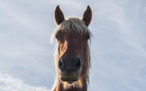 Jakobsweg Marols Pferd