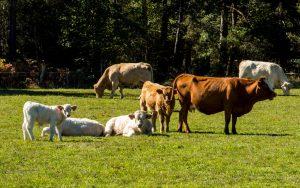 Jakobsweg Rinder bei Usson-en-Forez