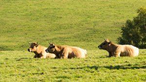 Jakobsweg Rinder im Lot-Tal